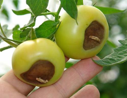 کمبود کلسیم در گوجه